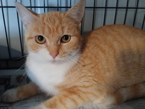 Maxcotea   Foto de Pomposa - Gato, Raza: Gato común europeo   Maxcotea, Adopción de mascotas. Adopción de perros. Adopción de gatos.