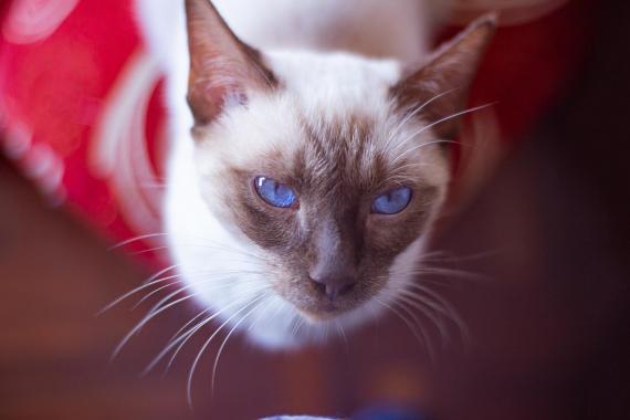 Maxcotea   Foto de Milagros - Gato, Raza: Gato común europeo   Maxcotea, Adopción de mascotas. Adopción de perros. Adopción de gatos.