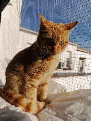 Maxcotea | Foto de Raviolli - Gato, Raza: Gato común europeo | Maxcotea, Adopción de mascotas. Adopción de perros. Adopción de gatos.