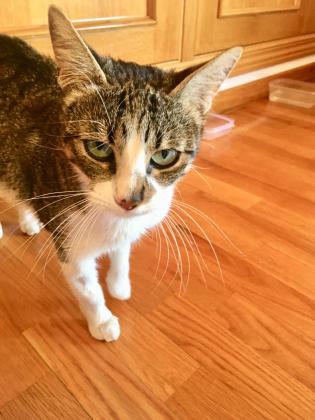 Maxcotea | Foto de Maryoret - Gato, Raza: Gato común europeo | Maxcotea, Adopción de mascotas. Adopción de perros. Adopción de gatos.