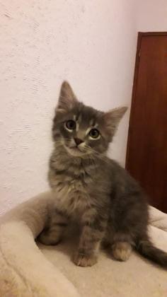 Maxcotea   Foto de Aramis - Gato, Raza: Gato común europeo   Maxcotea, Adopción de mascotas. Adopción de perros. Adopción de gatos.