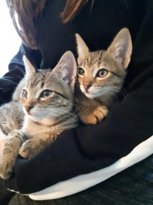 Maxcotea | Foto de Lory y Doly - Gato, Raza: Abisinio | Maxcotea, Adopción de mascotas. Adopción de perros. Adopción de gatos.