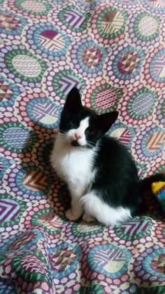 Maxcotea   Foto de Porthos - Gato, Raza: Gato común europeo   Maxcotea, Adopción de mascotas. Adopción de perros. Adopción de gatos.