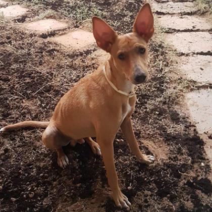 Maxcotea | Foto de Brus - Perro, Raza: Podenco Ibicenco | Maxcotea, Adopción de mascotas. Adopción de perros. Adopción de gatos.