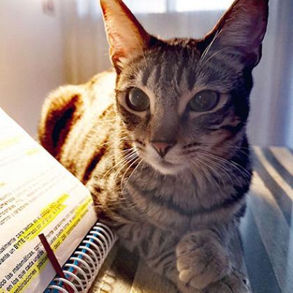 Maxcotea | Foto de Lola - Gato, Raza: Abisinio | Maxcotea, Adopción de mascotas. Adopción de perros. Adopción de gatos.
