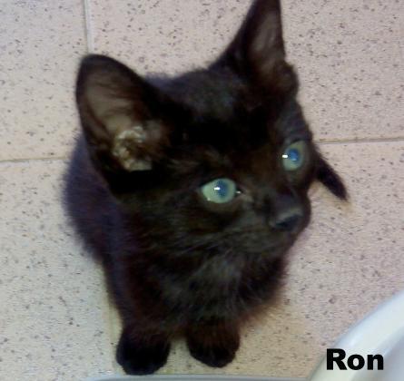 Maxcotea | Foto de Ron - Gato, Raza: Gato común europeo | Maxcotea, Adopción de mascotas. Adopción de perros. Adopción de gatos.