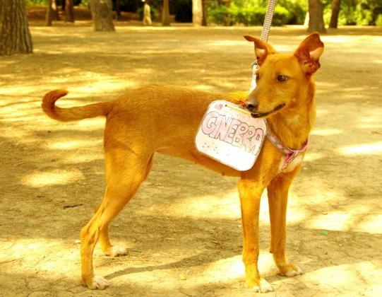 Maxcotea   Foto de Ginebra - Perro, Raza: Podenco Canario   Maxcotea, Adopción de mascotas. Adopción de perros. Adopción de gatos.