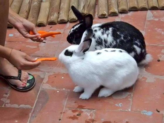 Maxcotea | Foto de LINDA Y CONYLLELI - Roedor, Raza: Conejo | Maxcotea, Adopción de mascotas. Adopción de perros. Adopción de gatos.