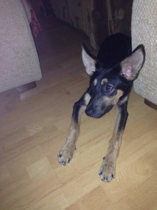 Maxcotea   Foto de Lola - Perro, Raza: Pastor Aleman   Maxcotea, Adopción de mascotas. Adopción de perros. Adopción de gatos.