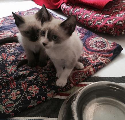Maxcotea | Foto de Tito - Gato, Raza: Siames | Maxcotea, Adopción de mascotas. Adopción de perros. Adopción de gatos.