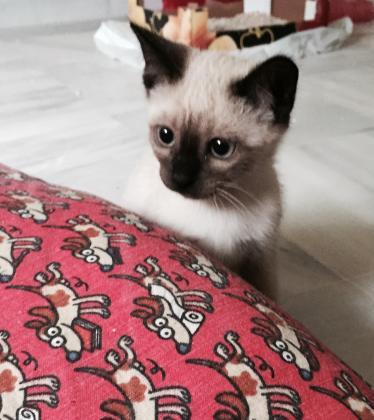 Maxcotea | Foto de Tita - Gato, Raza: Siames | Maxcotea, Adopción de mascotas. Adopción de perros. Adopción de gatos.