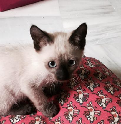 Maxcotea | Foto de Paco - Gato, Raza: Siames | Maxcotea, Adopción de mascotas. Adopción de perros. Adopción de gatos.