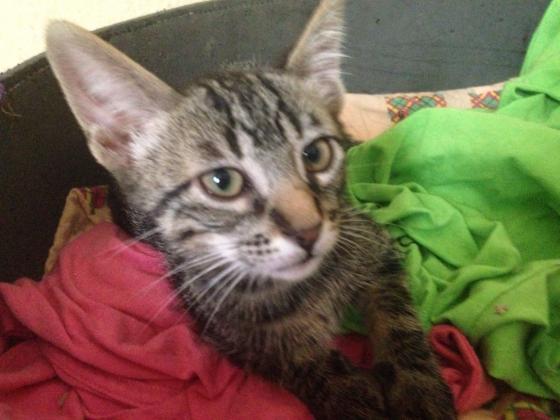 Maxcotea | Foto de Sugar - Gato, Raza: Gato común europeo | Maxcotea, Adopción de mascotas. Adopción de perros. Adopción de gatos.