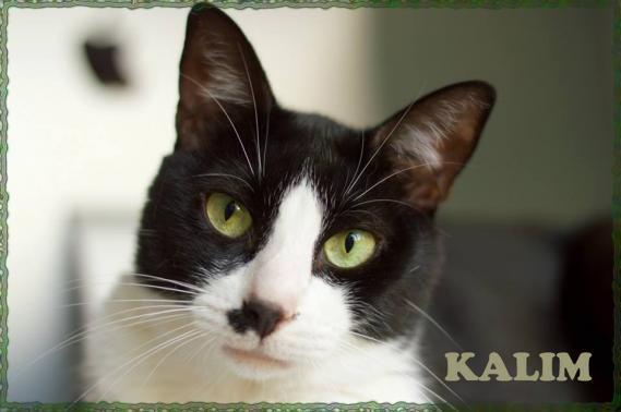 Maxcotea | Foto de Kalim - Gato, Raza: Abisinio | Maxcotea, Adopción de mascotas. Adopción de perros. Adopción de gatos.