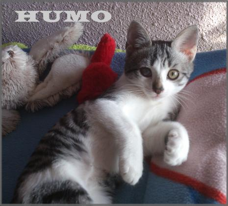 Maxcotea | Foto de Humo - Gato, Raza: Gato común europeo | Maxcotea, Adopción de mascotas. Adopción de perros. Adopción de gatos.