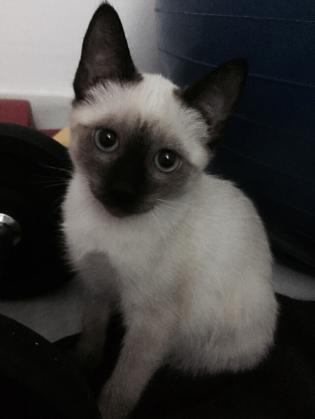 Maxcotea | Foto de Paca - Gato, Raza: Siames | Maxcotea, Adopción de mascotas. Adopción de perros. Adopción de gatos.