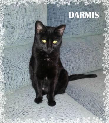 Maxcotea | Foto de Darmis - Gato, Raza: Gato común europeo | Maxcotea, Adopción de mascotas. Adopción de perros. Adopción de gatos.