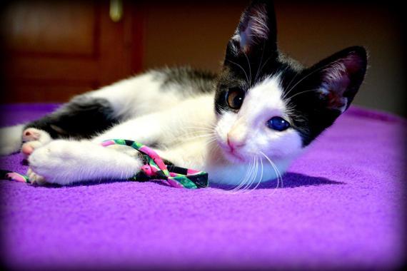 Maxcotea | Foto de PIRATA - Gato, Raza: Abisinio | Maxcotea, Adopción de mascotas. Adopción de perros. Adopción de gatos.