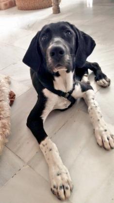 Maxcotea | Foto de MARTINA - Perro, Raza: Mastein | Maxcotea, Adopción de mascotas. Adopción de perros. Adopción de gatos.