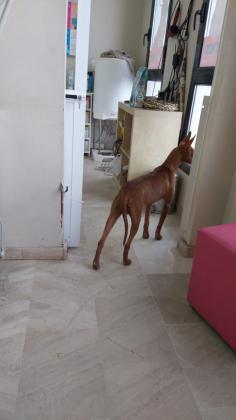 Maxcotea | Foto de hermes - Perro, Raza: Podenco Ibicenco | hermes | Maxcotea, Adopción de mascotas. Adopción de perros. Adopción de gatos.