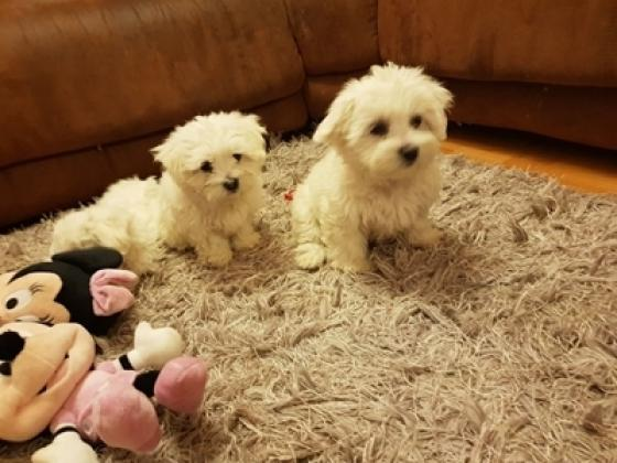 Maxcotea | Foto de lisaalilianaf - Perro, Raza: Bichon maltes | Maxcotea, Adopción de mascotas. Adopción de perros. Adopción de gatos.