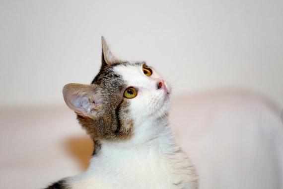 Maxcotea | Foto de Gea - Gato, Raza: Gato común europeo | Maxcotea, Adopción de mascotas. Adopción de perros. Adopción de gatos.