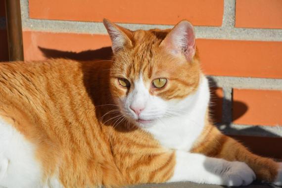 Maxcotea | Foto de Centella - Gato, Raza: Gato común europeo | Maxcotea, Adopción de mascotas. Adopción de perros. Adopción de gatos.