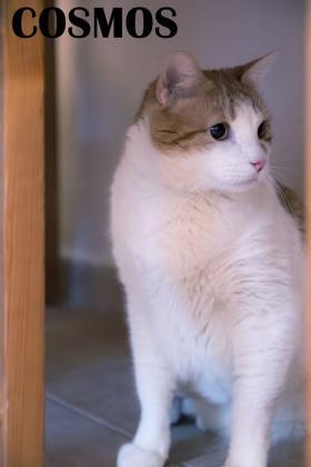 Maxcotea | Foto de Cosmos - Gato, Raza: Gato común europeo | Maxcotea, Adopción de mascotas. Adopción de perros. Adopción de gatos.