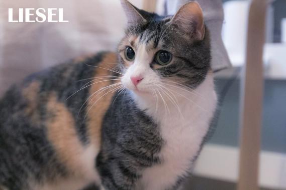 Maxcotea | Foto de Liesel - Gato, Raza: Gato común europeo | Maxcotea, Adopción de mascotas. Adopción de perros. Adopción de gatos.