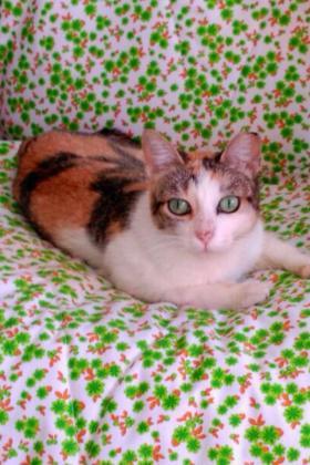 Maxcotea | Foto de Mani - Gato, Raza: Gato común europeo | Maxcotea, Adopción de mascotas. Adopción de perros. Adopción de gatos.