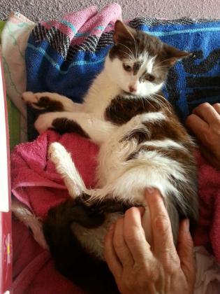 Maxcotea | Foto de Anys - Gato, Raza: Gato común europeo | Maxcotea, Adopción de mascotas. Adopción de perros. Adopción de gatos.