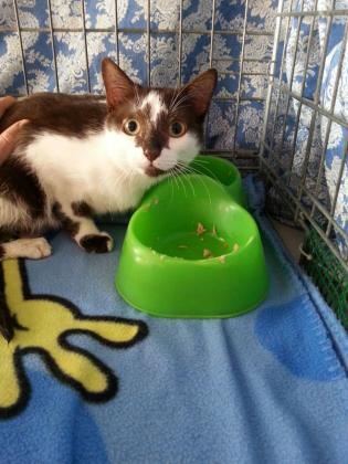 Maxcotea | Foto de Sanny - Gato, Raza: Gato común europeo | Maxcotea, Adopción de mascotas. Adopción de perros. Adopción de gatos.