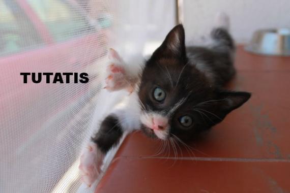 Maxcotea | Foto de Tutatis - Gato, Raza: Gato común europeo | Maxcotea, Adopción de mascotas. Adopción de perros. Adopción de gatos.