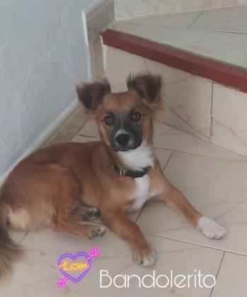 Maxcotea   Foto de Bandolerito - Perro, Raza: Affenpinscher   Bandolerito   Maxcotea, Adopción de mascotas. Adopción de perros. Adopción de gatos.