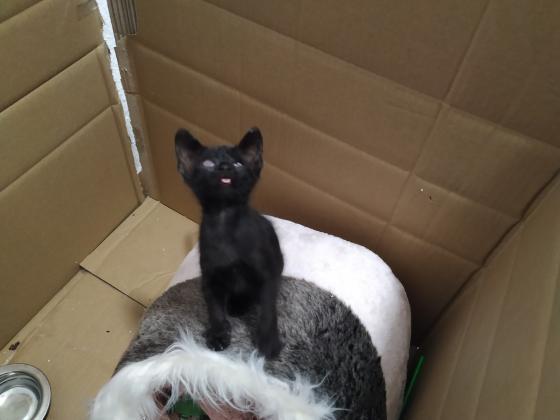 Maxcotea   Foto de SEITÁN en adopción. - Gato, Raza: Pelicorto Europeo   Seitán tras 1 semana conmigo.   Maxcotea, Adopción de mascotas. Adopción de perros. Adopción de gatos.