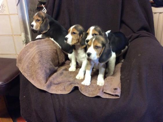 Maxcotea | Foto de  Beagle. - Perro, Raza: Beagle | Maxcotea, Adopción de mascotas. Adopción de perros. Adopción de gatos.