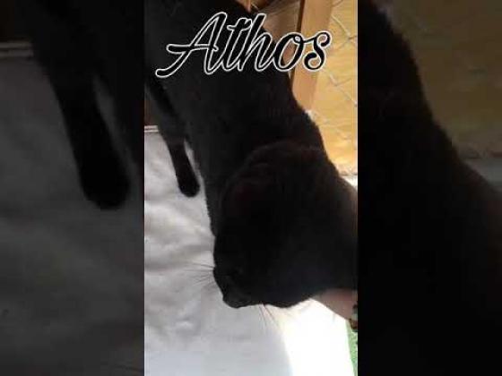 Maxcotea   Foto de Athos - Gato, Raza: Bombay   Athos   Maxcotea, Adopción de mascotas. Adopción de perros. Adopción de gatos.