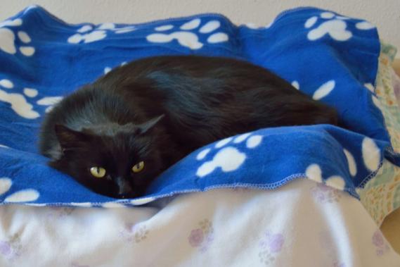 Maxcotea | Foto de Eclipse - Gato, Raza: Gato común europeo | 🌸 Eclipse🌸 | Maxcotea, Adopción de mascotas. Adopción de perros. Adopción de gatos.