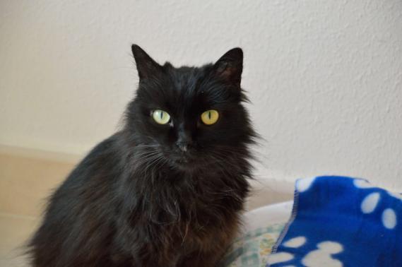 Maxcotea | Foto de Eclipse - Gato, Raza: Gato común europeo | Maxcotea, Adopción de mascotas. Adopción de perros. Adopción de gatos.