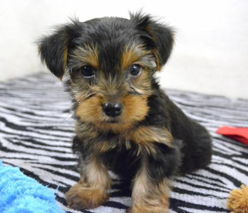 Maxcotea | Foto de Rena Yorkie puppy - Perro, Raza: Yorkshire terrier | Maxcotea, Adopción de mascotas. Adopción de perros. Adopción de gatos.