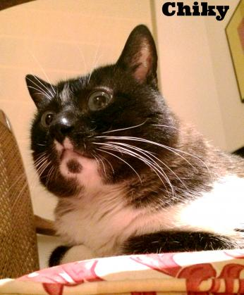 Maxcotea | Foto de Chiky - Gato, Raza: Gato común europeo | Maxcotea, Adopción de mascotas. Adopción de perros. Adopción de gatos.