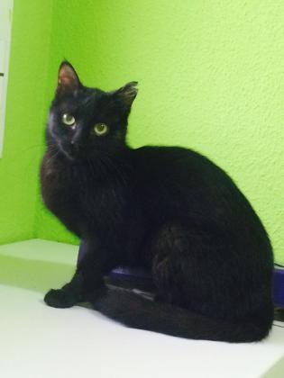 Maxcotea | Foto de Mara - Gato, Raza: Gato común europeo | Maxcotea, Adopción de mascotas. Adopción de perros. Adopción de gatos.