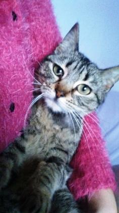 Maxcotea | Foto de Piret - Gato, Raza: Gato común europeo | Maxcotea, Adopción de mascotas. Adopción de perros. Adopción de gatos.