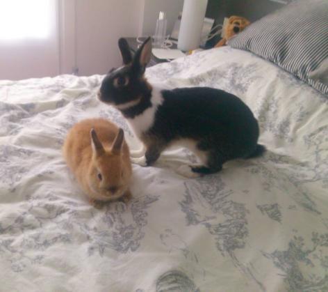 Maxcotea | Foto de sesito y tambor - Roedor, Raza: Conejo toy/mini/enano | Maxcotea, Adopción de mascotas. Adopción de perros. Adopción de gatos.