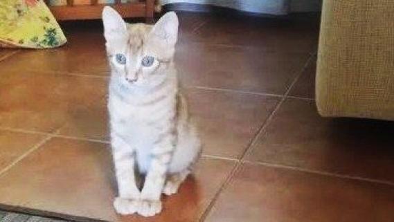 Maxcotea | Foto de Piggi - Gato, Raza: Gato común europeo | Maxcotea, Adopción de mascotas. Adopción de perros. Adopción de gatos.