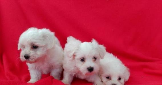 Maxcotea | Foto de kim - Perro, Raza: Bichon maltes | Maxcotea, Adopción de mascotas. Adopción de perros. Adopción de gatos.
