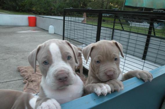 Maxcotea | Foto de charlie and kate - Perro, Raza: American Pit Bull Terrier | Maxcotea, Adopción de mascotas. Adopción de perros. Adopción de gatos.
