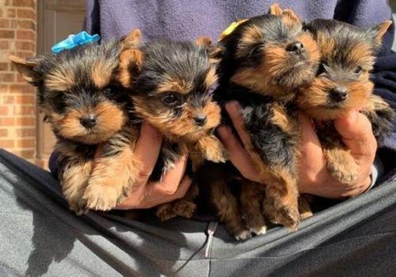 Maxcotea | Foto de kim y bella  - Perro, Raza: Yorkshire terrier | Maxcotea, Adopción de mascotas. Adopción de perros. Adopción de gatos.