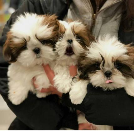 Maxcotea | Foto de sofia - Perro, Raza: ShihTzu | Maxcotea, Adopción de mascotas. Adopción de perros. Adopción de gatos.