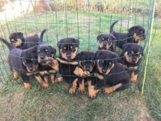 Maxcotea | Foto de bella,kim y mas  - Perro, Raza: Rottweiler | Maxcotea, Adopción de mascotas. Adopción de perros. Adopción de gatos.